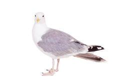 European Herring Gull, 2 years old, on white Stock Photos