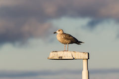European herring gull. Young European herring gull (Larus argentatus) on top of a lamp post Stock Photography