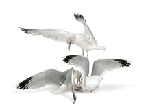 European Herring Gulls, Larus argentatus. 4 years old, in winter plumage fighting, against white background Royalty Free Stock Images