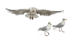 European Herring Gulls, Larus argentatus Royalty Free Stock Photo