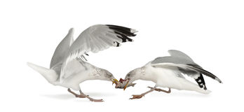 European Herring Gulls, Larus argentatus Royalty Free Stock Images