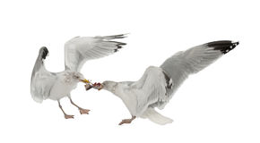 European Herring Gulls, Larus argentatus Stock Photos
