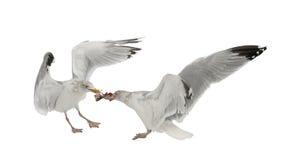 European Herring Gulls, Larus argentatus Stock Photos