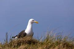 European Herring Gulls, Larus argentatus Stock Images