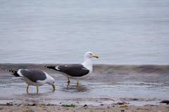 European Herring Gulls, Larus argentatus Stock Photo