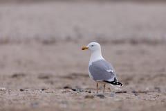 European Herring Gulls, Larus argentatus Royalty Free Stock Photography