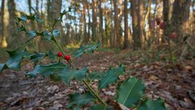 European holly in autumn royalty free stock photos