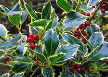 European holly (Ilex aquifolium). Berries and leaves with raindrops Royalty Free Stock Images
