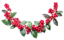 European Holly (Ilex) leaves and fruits. stock photography