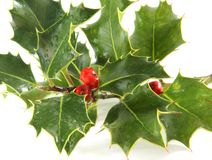 European holly isolated Stock Photo