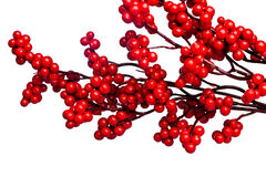 European holly isolated Stock Image