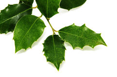 European Holly leaves Stock Photos
