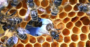 European Honey Bee, apis mellifera, Bees on a frame with a hole in alveolus, Normandy, Real Time