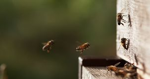 European Honey Bee, apis mellifera, Bees standing at the Entrance of The Hive, Insect in Flight, Return Of Boot, Bee Hive in Norma stock footage