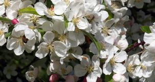 European honey bee, apis mellifera, black bee foraging an apple blossom, pollination act, Normandy, reel time stock video