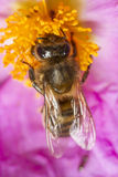 European honey bee (Apis mellifera) Stock Photo