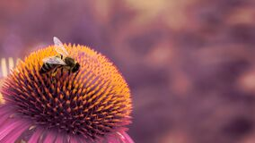 Free European Honey Bee Apis Mellifera On Spiky Flower. Full Spectrum Abstract Vision Royalty Free Stock Images - 191160049