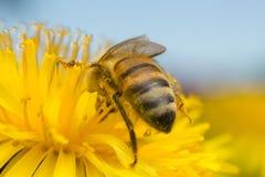 European honey bee, Apis mellifera pollinating on dandelion Royalty Free Stock Images