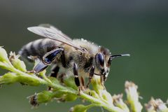 European honey bee, Apis mellifera. Was one of the first domesticated insects, and is the primary species maintained by beekeepers to this day for both its Stock Photo