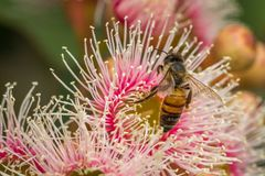 European Honey Bee Feeding on Bright Pink Eucalyptus Flowers, Sunbury, Victoria, Australia, October 2017. Bright Pink Eucalyptus Flowers, Sunbury, Victoria stock photography