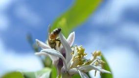 European honey bee stock footage