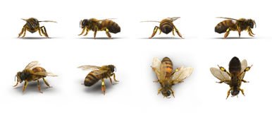 European honey bee, renders set from different angles on a white. 3D illustration Royalty Free Stock Images