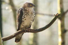 European honey buzzard Royalty Free Stock Photography