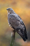 European honey buzzard Stock Photography