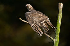 European honey buzzard Royalty Free Stock Images