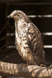 European honey buzzard Royalty Free Stock Image