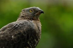 European Honey Buzzard (Pernis Apivorus) Royalty Free Stock Photography