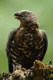 European Honey Buzzard (Pernis Apivorus) royalty free stock photo