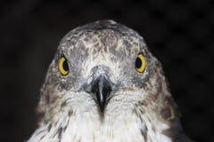 European Honey-buzzard(Pernis Apivorus) royalty free stock image