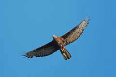European Honey Buzzard (Pernis apivorus) Stock Photography
