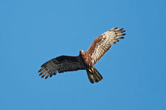European Honey Buzzard (Pernis apivorus) Royalty Free Stock Images