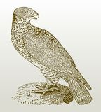 European honey buzzard pernis apivorus sitting on a rock. Illustration after a woodcut engraving from the early 19th century. Easy editable in layers Stock Image