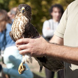 European Honey Buzzard (Pernis apivorus) Royalty Free Stock Image