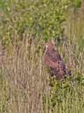 European honey buzzard sitting on the bush Royalty Free Stock Image