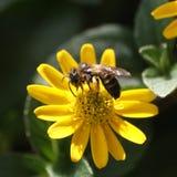Honeybee gathering nectar. European honeybee busy gathering nectar for honey from a yellow flower Stock Photos