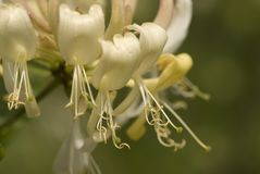 European Honeysuckle, Wilde kamperfoelie, Lonicera periclymenum royalty free stock images