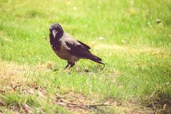 European hooded crow Stock Images