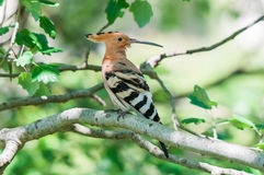 European hoopoe on a branch Royalty Free Stock Image