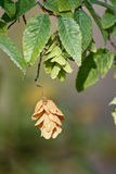 European Hop-hornbeam - Ostrya carpinifolia Stock Photos