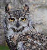 European Horned Owl Stock Image