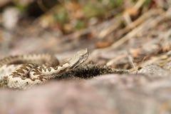 European horned viper Stock Photos