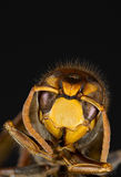 European Hornet Royalty Free Stock Photography