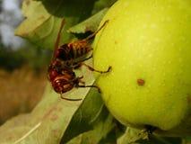 European hornet eating royalty free stock photos