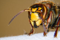 European hornet portrait. European hornet is a very large wasp Stock Image