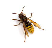 European Hornet Stock Photography