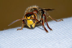 European hornet. Is a very large wasp Royalty Free Stock Photos
